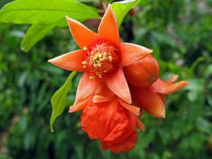 pomegranate-L-Nb3yo5
