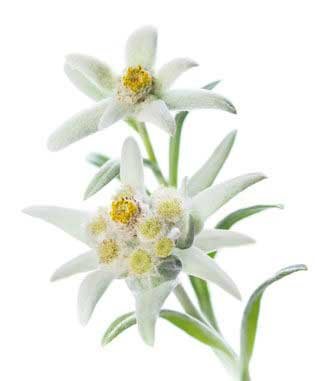 Edelweiss-extract-powerful-antioxidant